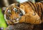500 эл. - Портрет тигра / Getty Images_L / Trefl 0