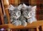 500 ел. High Quality Collection - Сірі кошенята / Clementoni 0
