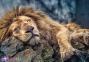 1000 ел. - Сплячий лев / Trefl 0